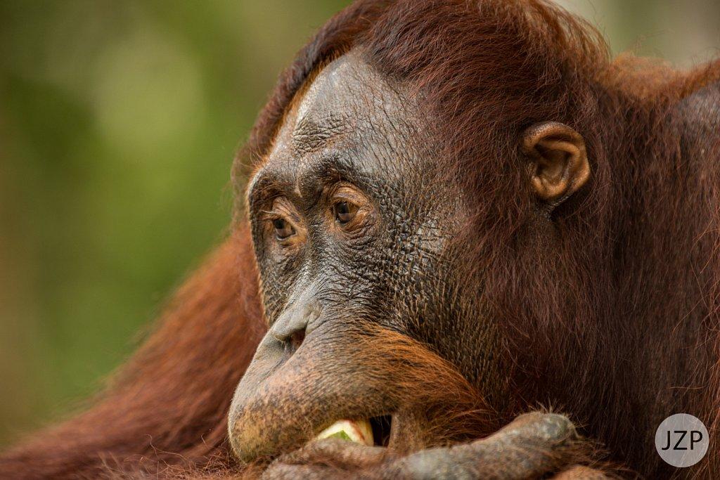 Orang Utans auf Borneo